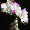 Dendrobium Orchid<br /> © WEOttinger, The Wildflower Hunter - All rights reserved<br /> For educational use only - this image, or derivative works, can not be used, published, distributed or sold without written permission of the owner.