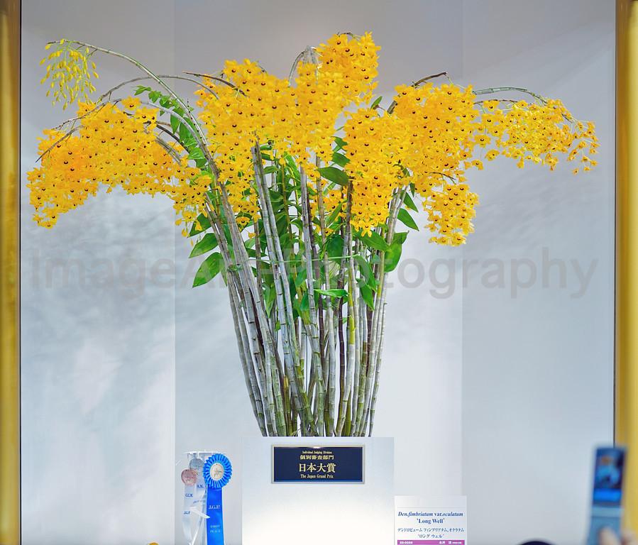 2010 JGP Grand Prize Winner <br /> Dendrobium fimbriatum var. oculatum 'Long Well'