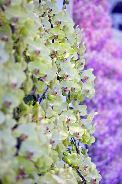 A wall of Phalaenopsis Fortune Saltzman 'Maple Bridge'