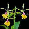 Epicattleya orchid Rene Marques 'Tyler'