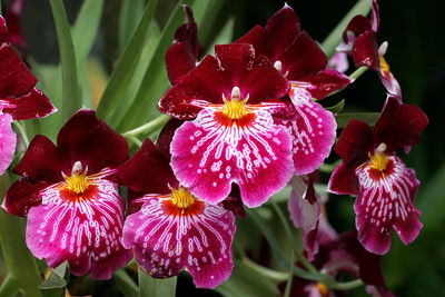 Miltoniopsis Orchid, Red and Pink, Longwood Gardens , Kennett Square, PA