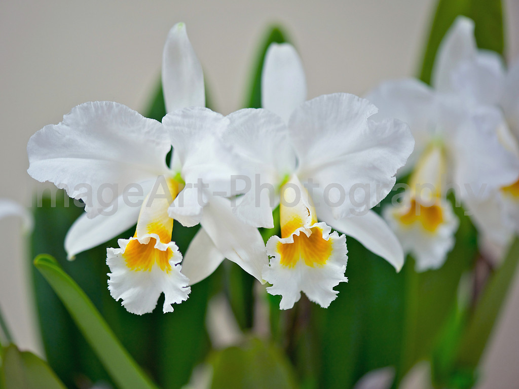 Cattleya percivaliana alba