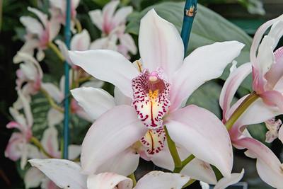 White and Violet Laelia Orchid, Montréal Botanical Garden , Montréal, Quebec, Canada.