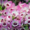 Dendrobium nobile orchids