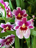 Magenta, lavender and white orchids.<br /> I shot this at Powell Gardens Conservatory.
