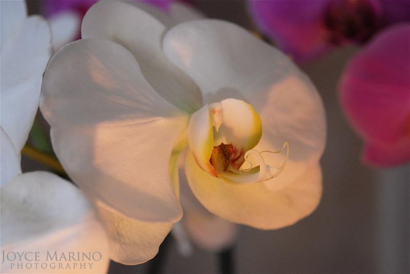Orchid Flowers -- DSC_0099