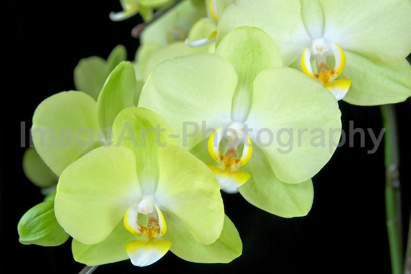 Phalaenopsis Kinu Breeze