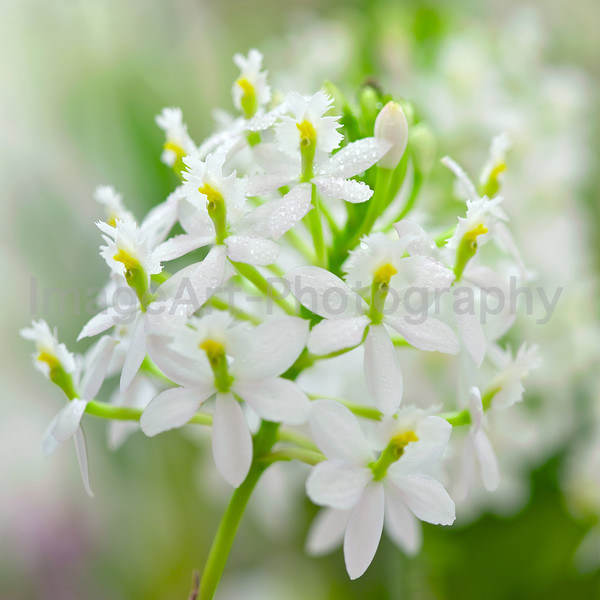 White Epidendrum orchid