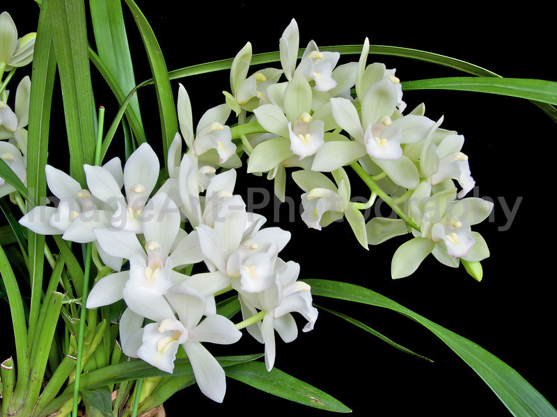 White Cymbidium Flower Spray