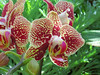 Orchids with red speckling.