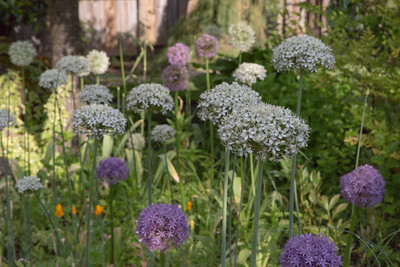 Oregon Garden_Alliums_05_28_2015