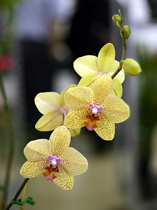 Orchid 4 (40520393)