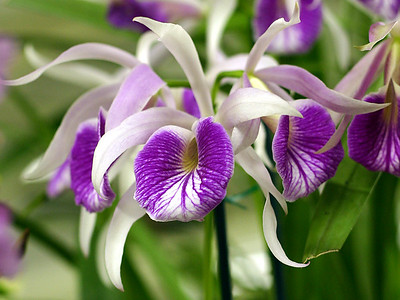 Orchid 8 (40520397)