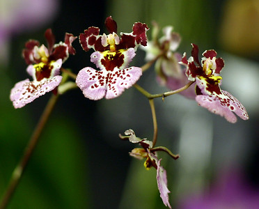 Orchid 17 (40520388)