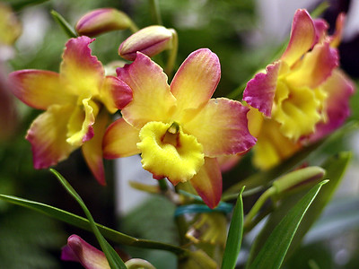 Orchid 19 (40520390)