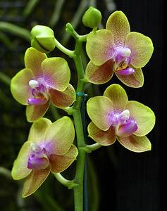 Orchid 10 (40520381)