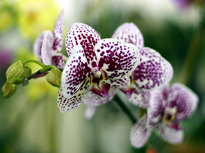 Orchid 3 (40520392)
