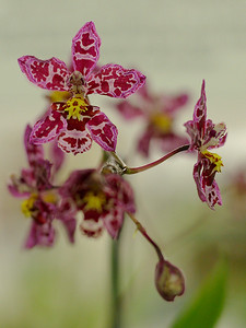 Orchid 7 (40520396)