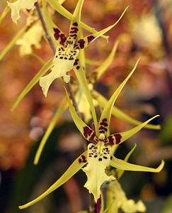 Orchid 13 (40520384)