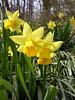 Yellow daffodils<br /> <br /> 3-24-06