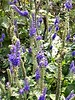 Lovely Blue Salvia practically sparkles in the sunlight. <br>8-18-04