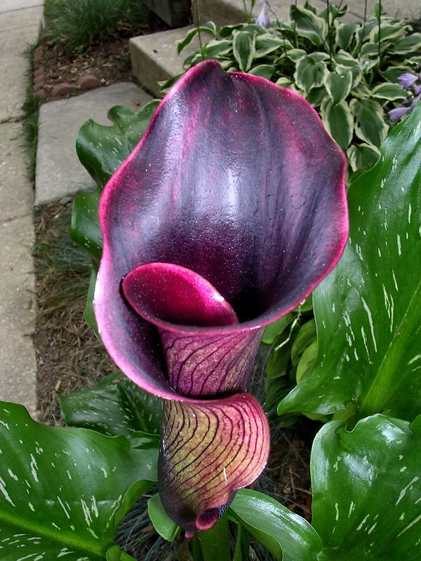 The dramatic Black Forest Calla Lily <br>7-13-04