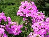 A lovely patch of bright pink tall phlox. <br>8-18-04