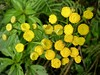 Tansy in bloom. <br> Tansy is a powerful insect repellent; before refrigeration, meat was wrapped in Tansy leaves to flavor it and repel flies. <br>8-18-04