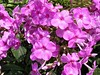 The tall phlox just glows on a bright sunny summer afternoon. <br>8-18-04