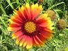 Bright gaillardia blossom <br>Elkton, Maryland <br>6-19-04