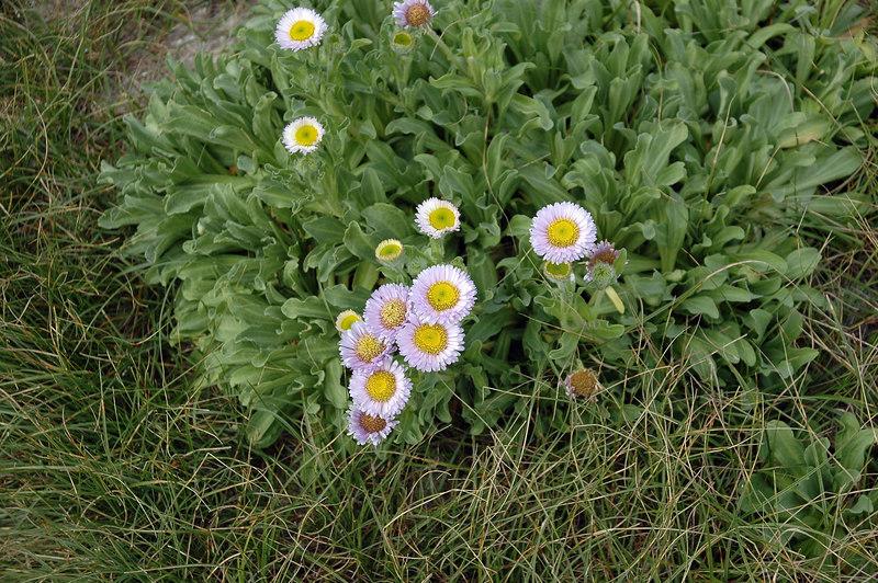Coastal Flowers, Point Pinos, CA