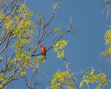 Cardinal Singing from the Tree Top Photo by Penny Jesse