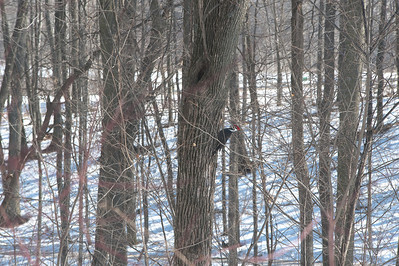 Proud Pileated Woodpecker Photo by Penny Jesse