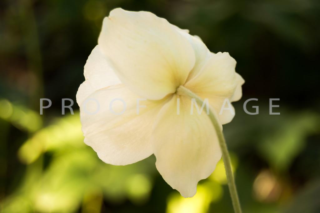 White Poppy Stem