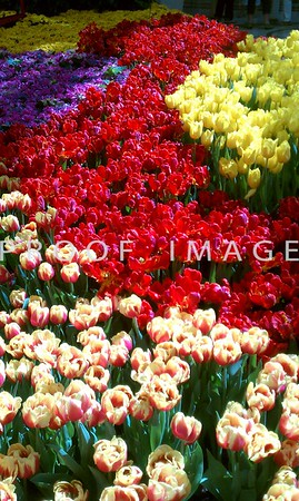 Tulips - This was taken with my phone in the Bellagio Conservatory