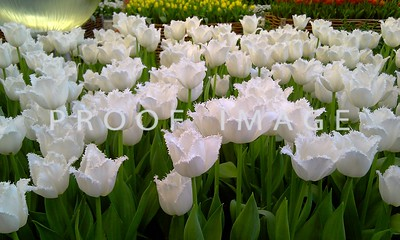 Tulips - Bellagio Conservatory - This was taken with my phone