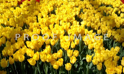 Yellow Tulips - This was taken with my phone in the Bellagio Conservatory