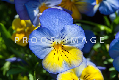 Blue and Yellow Pansy