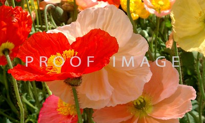 Poppies - This was taken with my phone in the Bellagio Conservatory