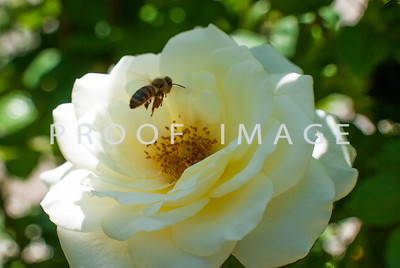 White Rose and Bee