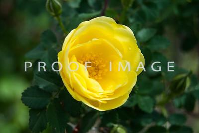Mini Yellow Rose