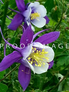 Winter Park - 'Spring Magic Navy and White' columbine - Snapped this pic with my phone