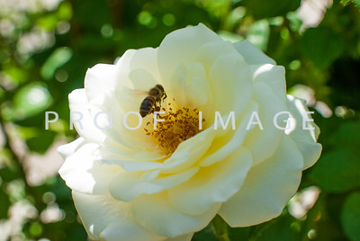 Bee and White Rose