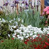 A larger view of the front yard with with our pink rhodie, white azalea, white candy tuft, red pinks, and purple irises.