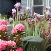 Another view of the front yard with our pink rhododendron and irises (and the neighbors junk!)