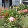 Our front yard on Saturday, 1 May 200.  You see roses, pin cushion flowers, thrift, coral bells, lupine and azaleas.