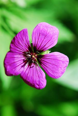 Our geraniums