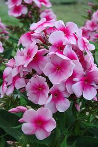 Phlox paniculata 'Sweet Summer Festival' (R) Met dank aan Huub van Dito Plants voor het gebruik van de foto