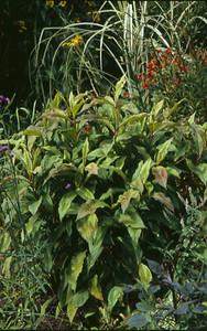 Persicaria virginiana 'Compton's Form'