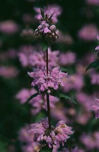 Phlomis tuberosa 'Amazone' close-up